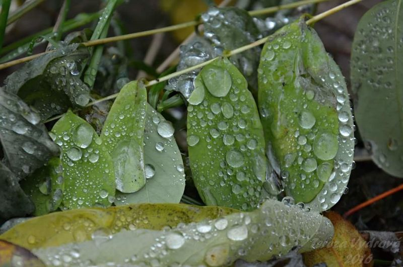 Autumn leaves 🍃 🍂 🍁 🍂 🍃 Drop Water Leaf Green Color Nature Close-up Rainy Season RainDrop Freshness Purity Beauty In Nature Outdoors Day Plant Rain Autumcolours Autumn🍁🍁🍁