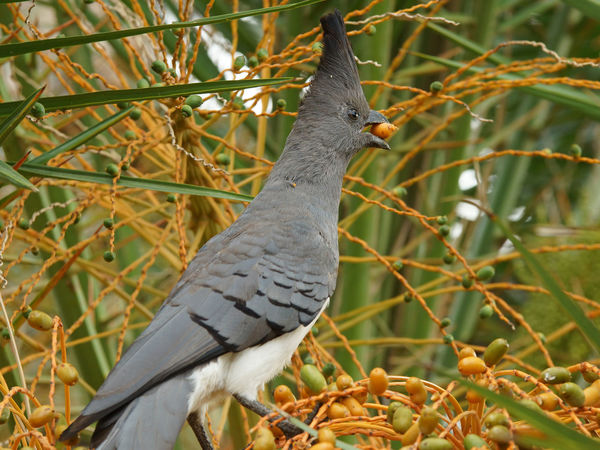 White-bellied Go-away-bird, Ethiopia, Africa Africa Animal Themes Animal Wildlife Animals In The Wild Bird Close-up Corythaixoides Leucogaster Day Ethiopia Fauna Go-away-bird Growth Nature No People One Animal Outdoors Perching Plant Travel Tree White-bellied Go-away-bird Wildlife