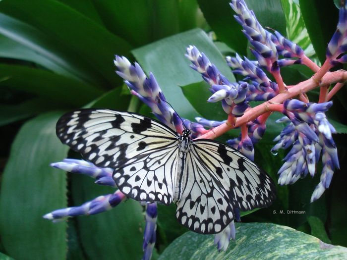 Schmetterlinge Weiße Baumnymphe Animal Themes Beauty In Nature Butterfly Butterfly - Insect Flower Insect Lila Nature No People One Animal Purple Purple Flower