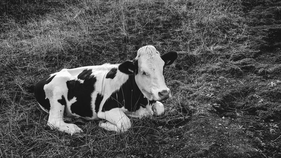 A cow chilling on a field in Alpe di Siusi B&w Mountain Alps Cow No People High Angle View Nature Animal Animal Themes Day Mammal