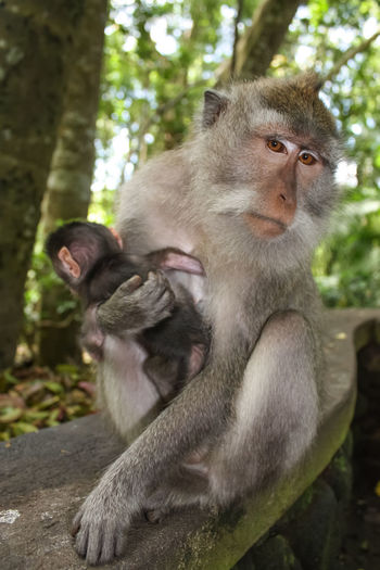 Portrait Of Monkey Embracing Young On Railing