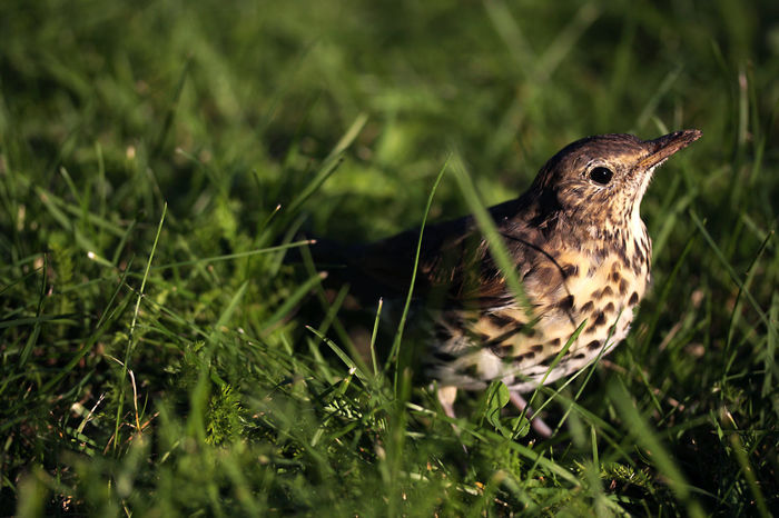 Song thrush Aves Passeriformes Song Thrush Turdus Philomelos Young Animal Themes Animal Wildlife Animals In The Wild Bird Chick Close-up Common Day Field Grass Green Color Juvenile Nature No People One Animal Ornithology  Outdoors Passerine
