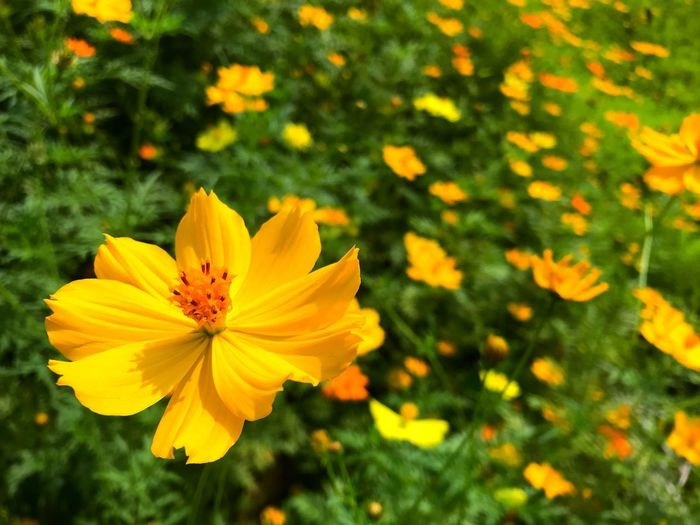 Recovering by nature Yellow Flowers Cosmos Flowering Plant Flower Petal Plant Fragility Freshness Vulnerability  Growth Flower Head Yellow Cosmos Flower Day Outdoors Close-up No People Nature Beauty In Nature Focus On Foreground