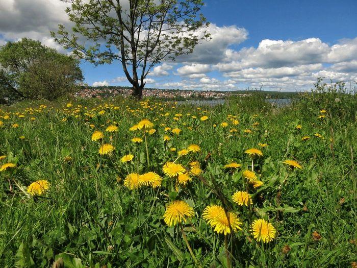 Nature Lakeshore Landscape Dandelions