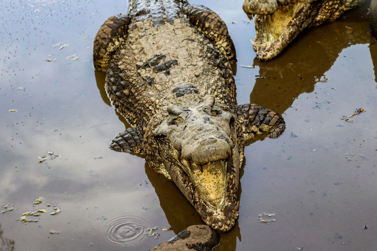 Crocodil Cuba