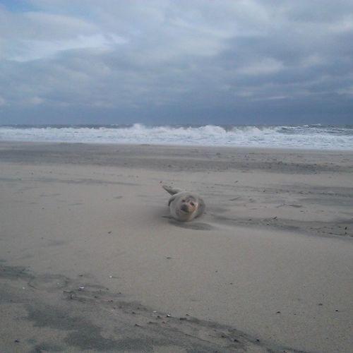 Baby seal washed up on shore, notified OCFD they were here in minutes Protectedspecies Nature Animal oceancity maryland ocmd oceancitycool OCCoolPix mdlivin beachlife saltlife @Delmarva @townofoceancity @ocfun @oceancitycool @mdtourism photooftheday itsamazingoutthere