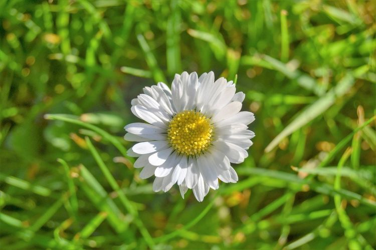 Flower Flowering Plant Plant Freshness Fragility Beauty In Nature Growth Vulnerability  Petal White Color Flower Head Inflorescence Nature Close-up Day Green Color Daisy No People Pollen Land Outdoors Daisy