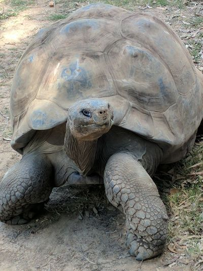 Tortoise Galapagos Tortoise