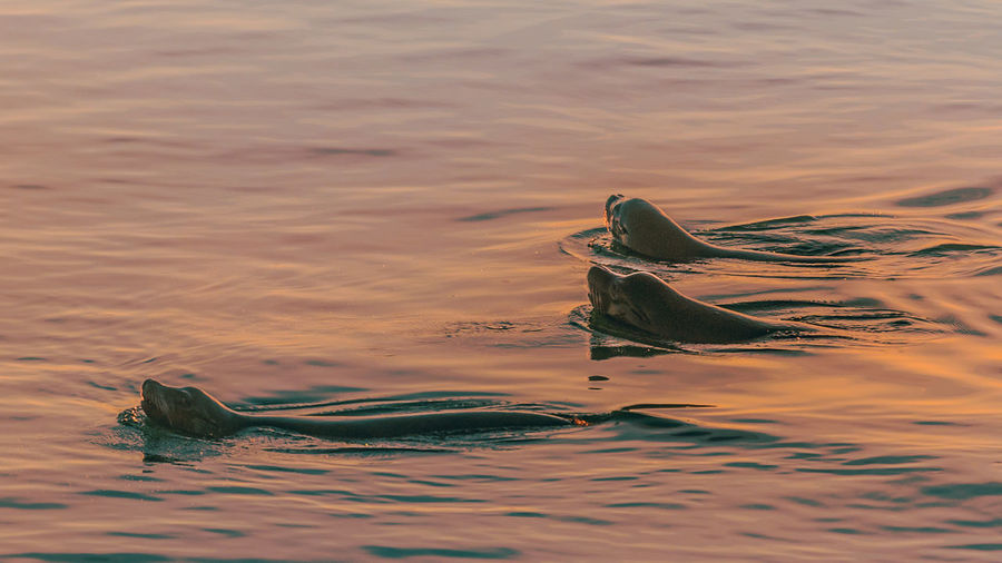 Sea lions on route to their nightly safe spot in unusually calm waters during a flaming sunset in the coastal rainforest of Vancouver Island, Canada. Adventure Animal Buddy Colourful Family Friendship Golden Happy Late Night Life Mammal Marine Nature Ocean Reflection Sea Lion Shimmering Sillhuette Splashing Sunset Surfacing Swimming Water Whiskers Wild