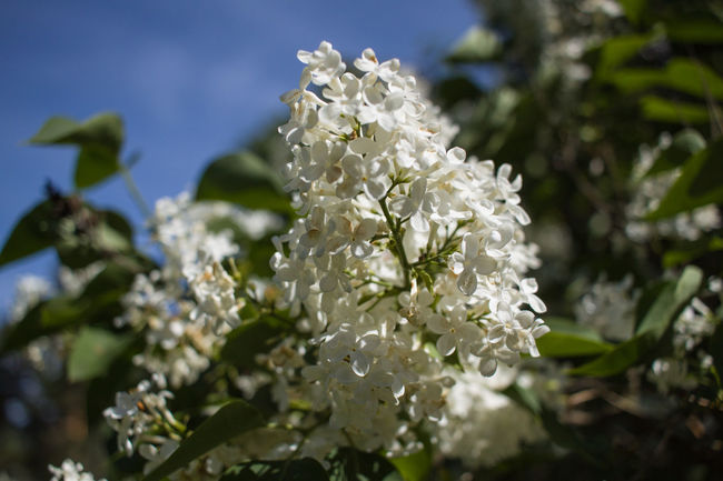 Beauty In Nature Blooming Blossom Botany Close-up Day Flower Flower Head Fragility Freshness Growth Nature No People Outdoors Petal Plant Syringa White Color