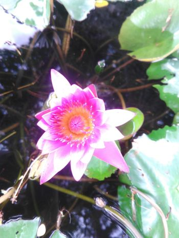 Purple and yellow flowers Flower Pink Color Petal Flower Head Fragility Nature Plant Water Close-up Leaf Freshness Beauty In Nature Day No People Growth Outdoors Water Lily Lotus Water Lily