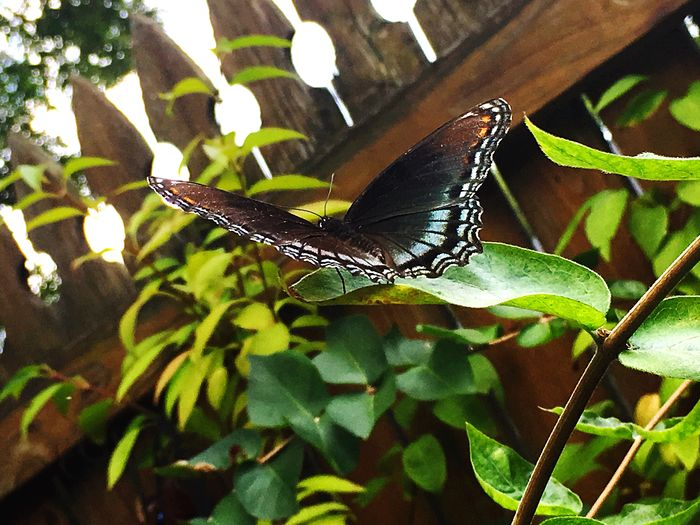Butterfly - Insect Iphone6 Animal Themes Close-up Red Spotted Purple Butterfly