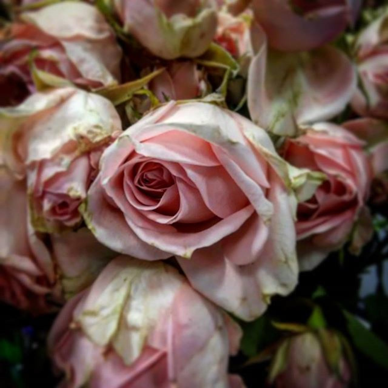 flower, nature, petal, rose - flower, close-up, flower head, plant, growth, no people, fragility, pink color, outdoors, beauty in nature, freshness, day