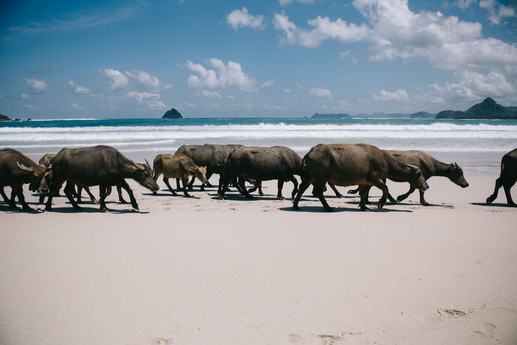 Cows walking on beach against sky