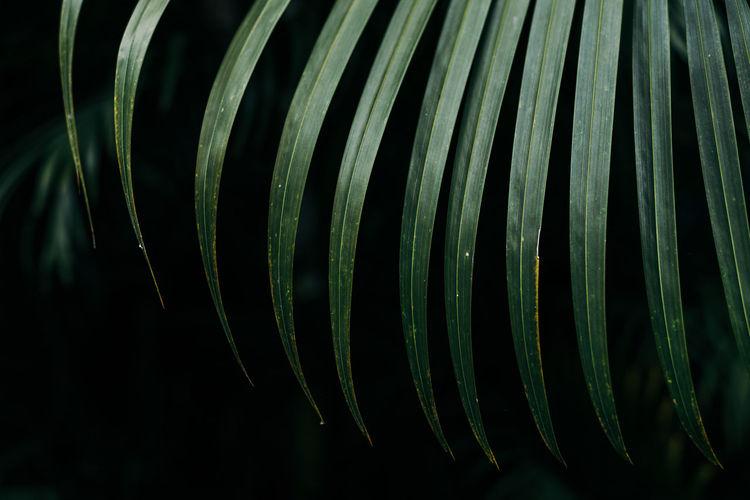 palm leaf Close-up Pattern Leaf Green Color Plant Part Nature Natural Pattern Palm Palm Leaf Palm Tree Foliage Green Color Green Foliage Tropical Tropical Leaves Tropical Tree Rainforest Black Background Dark Forest Macro Close Up