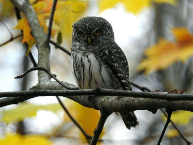 Owl Animal Wildlife Bird Animal Themes No People Day Nature Autumn🍁🍁🍁 Sosnovka Beauty In Nature Colors Of Sankt-Peterburg Sankt-Petersburg Russia
