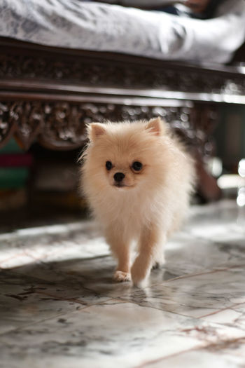Light brown Pomeranian puppy walking in marble floor room with wooden bed in soft focus back ground Mammal One Animal Animal Animal Themes Domestic Pets Looking At Camera Domestic Animals Portrait Vertebrate No People Focus On Foreground Young Animal Standing Dog Canine White Color Day Full Length Front View Small Pomeranian Puppy Doggy Cute Adorable Happy Bokeh Looking Light And Shadow Brown Fluffy Blurred Background Walking