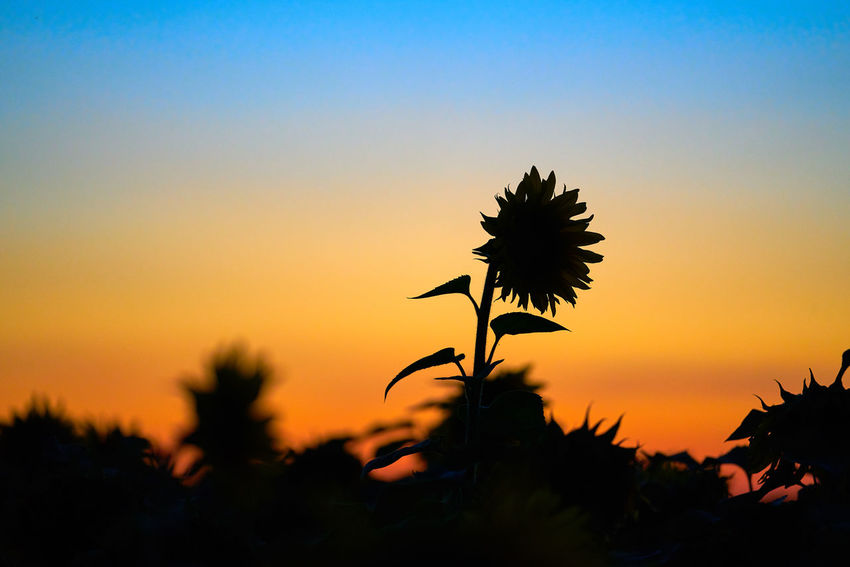 Sonnenblume vor Abendhimmel Sunlight Beauty In Nature Copy Space Flower Flower Head Flowering Plant Focus On Foreground Fragility Nature No People Nobody Orange Color Outdoors Plant Romantic Sky Scenics - Nature Silhouette Sky Sunset Tranquil Scene Tranquility