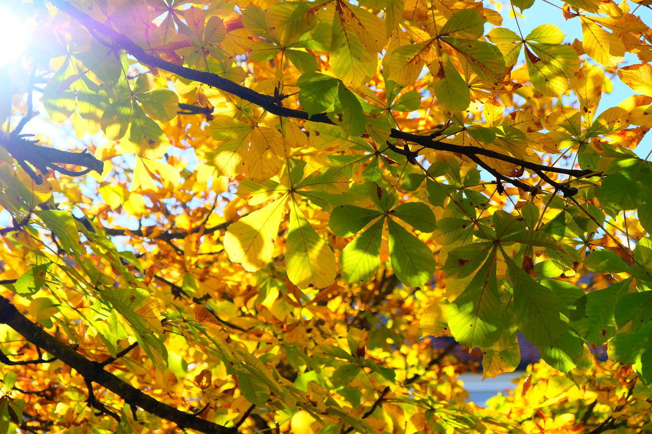 plant part, leaf, plant, autumn, tree, growth, beauty in nature, branch, change, low angle view, no people, nature, day, yellow, sunlight, maple leaf, close-up, maple tree, outdoors, freshness, leaves, natural condition