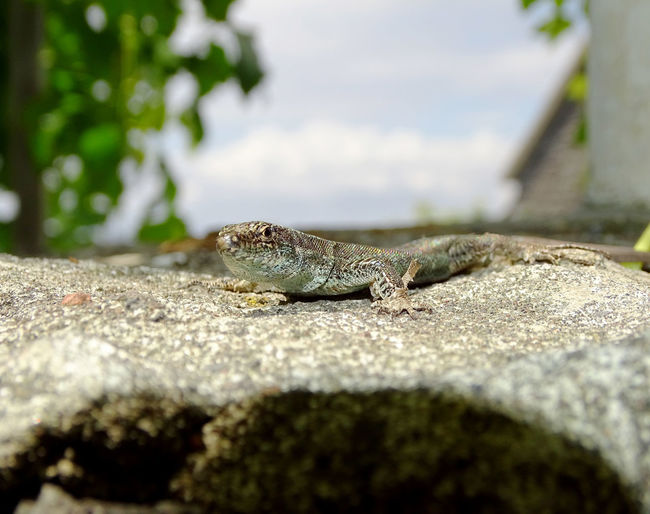 Animals In The Wild Animal Photography Lizard Lizard Watching Reptile Animal Themes Leopard Reptile Lying Down Close-up