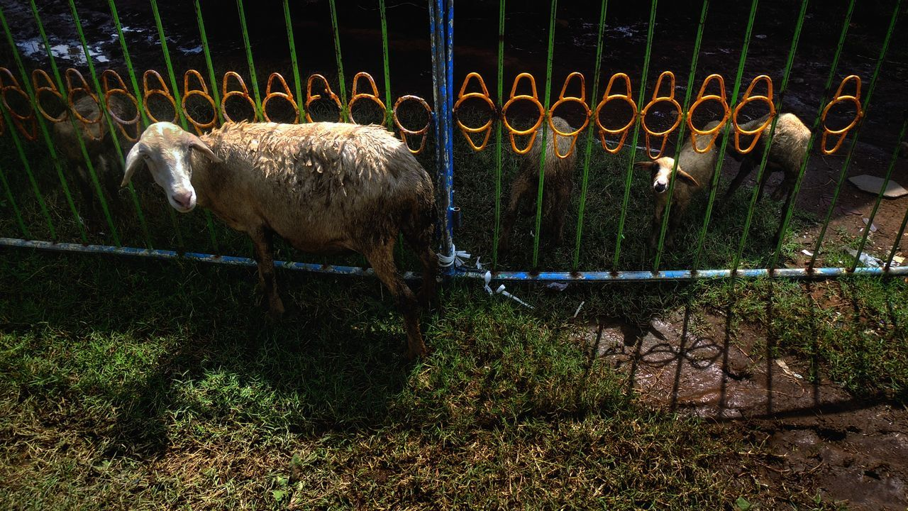 View Of Sheep Against Fence