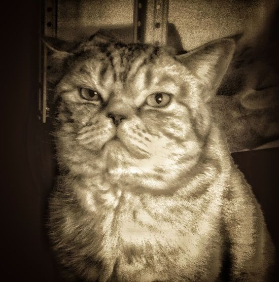 Governor General Looking At Camera Look Monochrome Pets Hello, World. Feline Domestic Animals Cat Domestic Cat No People Domestic Close-up