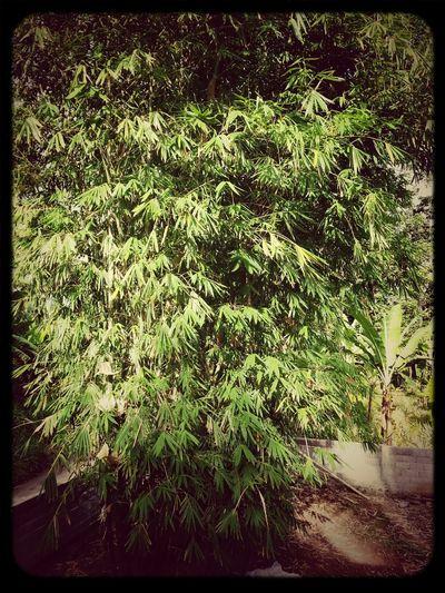 bamboo before reduce...