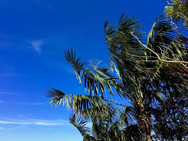 Pine trees and underneath the perfect blue Bahama skies., Palm Tree Low Angle View Blue Tree Sky Growth Nature Beauty In Nature Outdoors Day Palm Frond Branch Bahamas Vacation Time Vacation Destination EyeEm Nature Lover EyeEmNewHere Palm Leaf Palmleaves Blue Sky Perfect Day Relaxing Relaxing Time Holiday Summertime