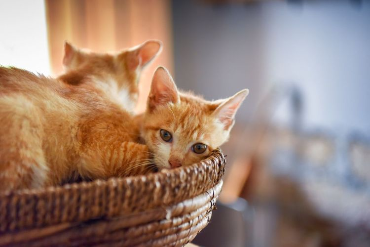 Close-up of ginger cats in basket