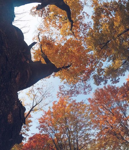Tree Nature Autumn Low Angle View Branch Beauty In Nature Growth No People Change Day Outdoors Leaf Tranquility Scenics Tree Trunk Mountain Sky