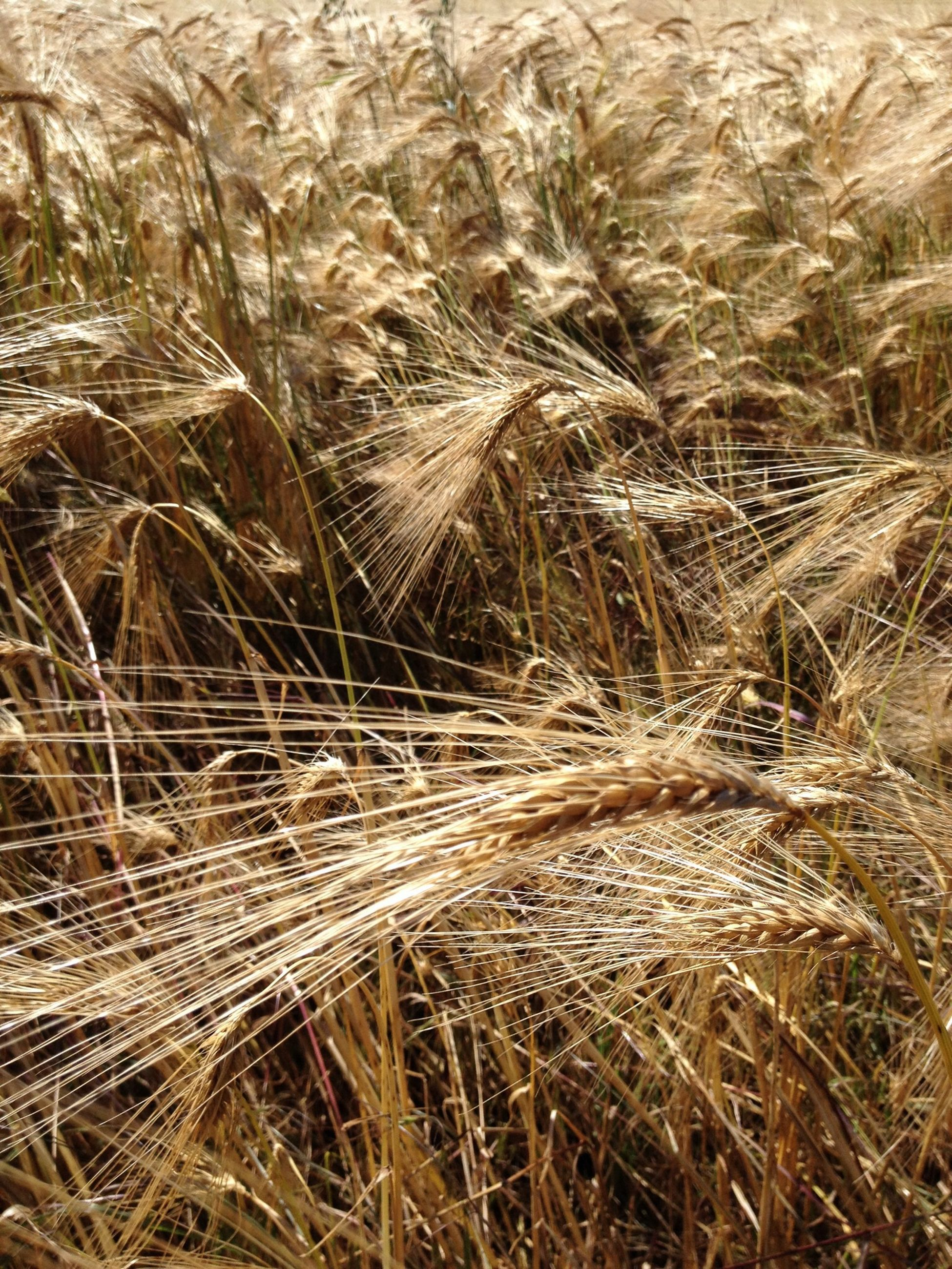 field, dry, nature, full frame, backgrounds, tranquility, growth, grass, agriculture, high angle view, rural scene, cereal plant, landscape, abundance, farm, crop, day, no people, outdoors, wheat