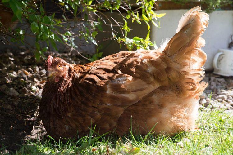 Chicken Domestic Animals One Animal Bird Livestock Sunlight Nature Feather  Pets