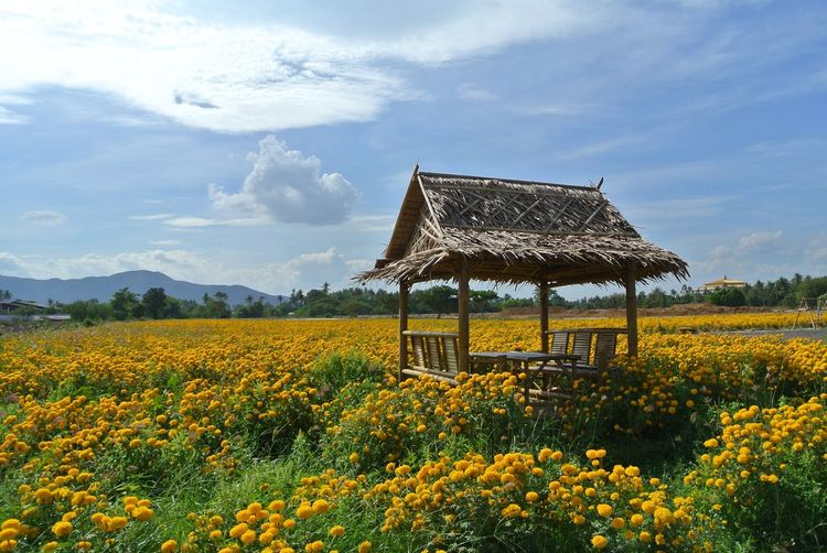 Hut amidst marigold field against sky