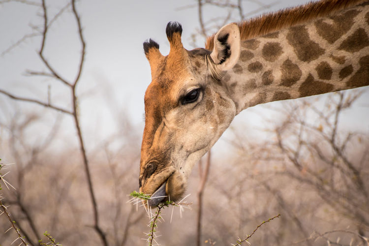 Giraffe Browsing Animal Animal Themes One Animal Mammal Animal Wildlife Tree Bare Tree Animals In The Wild Vertebrate Domestic Animals Giraffe Focus On Foreground Animal Body Part Nature Branch Plant No People Day Outdoors Herbivorous Animal Head  Animal Neck Namibia NamibiaPhotography Giraffe