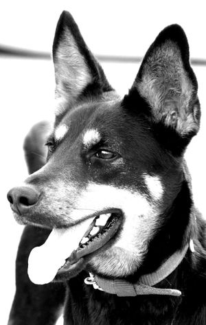 AnaGraph™ No People White Background Pets Dog Bryan Close-up Portrait Day Mammal Animal Themes Outdoors The Portraitist - 2017 EyeEm Awards The Photojournalist - 2017 EyeEm Awards The Great Outdoors - 2017 EyeEm Awards The Street Photographer - 2017 EyeEm Awards Blackandwhite Black And White Pet Portraits Mix Yourself A Good Time Black And White Friday Be. Ready. This Is Family Visual Creativity Adventures In The City