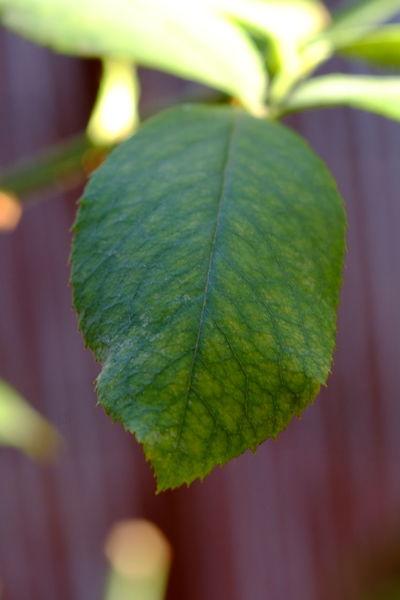 Testing an SMC Macro Takumar 100. Rose tree leaf Close-up Day Green Color Growth Leaf Macro Nature Rose Tree