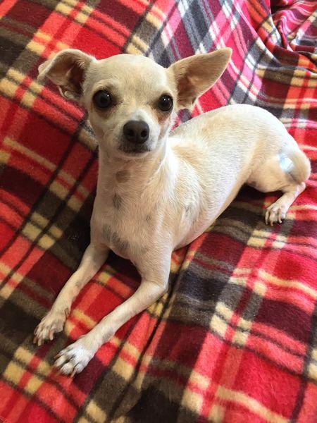 At attention! Chihuahua Chiwawa Chiuahua Dog Dogs Animal Animals Pet Pets Sweet
