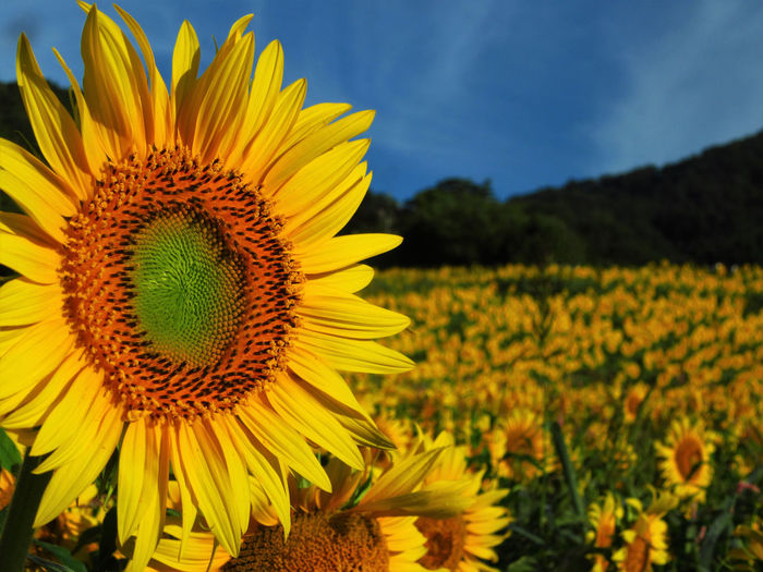 No People Outdoors Nature Flowering Plant Plant Flower Growth Sunflower Yellow Sky Close-up Petal