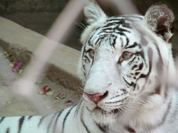 Close-Up Of White Tiger Seen Through Fence At Zoo