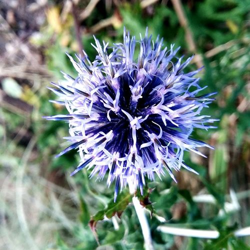 A Beautiful Close-up of a Pompom looking Purple Flower with a Green Leaf Background . Featuring Nature Fragility No People Plant Day Outdoors Flower Head Beauty In Nature Freshness Fragility In Nature Petal Focus On Foreground Growth Plant Nature Blue Green Leafy