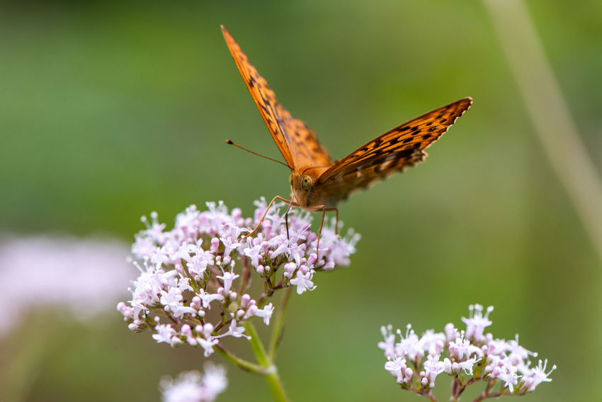 Silver-washed fritillary... Argynnis Paphia EyeEm Nature Lover Nymphalidae Silver-washed Fritillary Animal Animal Themes Animal Wildlife Animal Wing Beauty In Nature Butterfly Butterfly - Insect Flower Flower Head Flowering Plant Fragility Freshness In The Forest Insect Insect Paparazzi Invertebrate One Animal Plant Pollination Purple Vulnerability