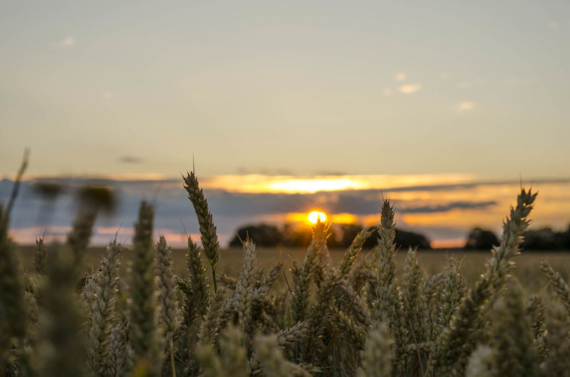 Agriculture Beauty In Nature Cereal Plant Crop  Environment Field Growth Land Landscape Nature No People Outdoors Plant Rural Scene Scenics - Nature Selective Focus Sky Sun Sunset Tranquil Scene Tranquility