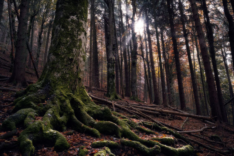 Cold Ancient Autumn Beams Forest Growth Nature Old Outdoors Rays Root Snowing Solid Sun