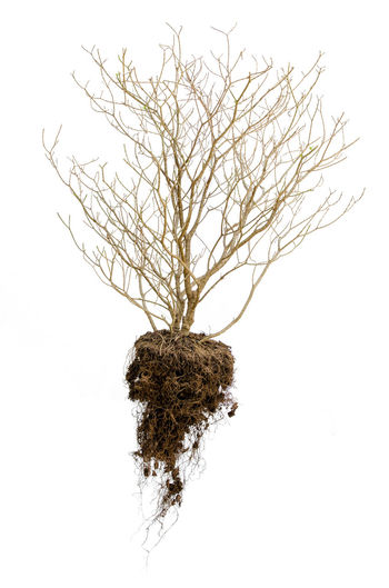Dead tree with roots hold the soil isolated on white background Arid Branch Day Dead Dead Tree Drought Dry Dying Tree Ecology Forlorn Isolated White Background No People Outdoors Root Soil Solitary Tree Tree Uprooted Tree Wilt Withered