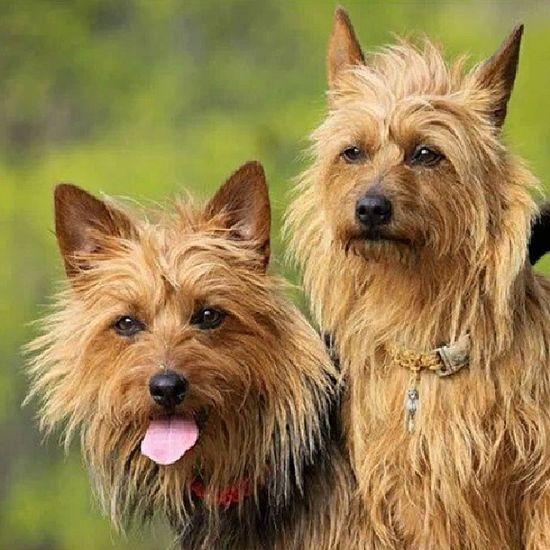 Aussieterrier Photowall Iger Follow_me Aussies australianterrier dogs dogs_of_instragram