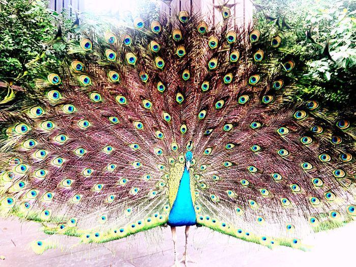 Peacock EyeEmNewHere
