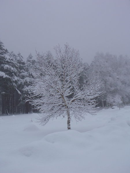 Single beautiful tree covered in snow. Bare Tree Beauty In Nature Cold Cold Temperature Covering Day Growth Idyllic Landscape Nature Matsuo Yoriki Birch Forest Ultimate Japan Outdoors Scenics Season  Sky Snow Snow Covered Tranquil Scene Tranquility Tree Weather White White Color Winter