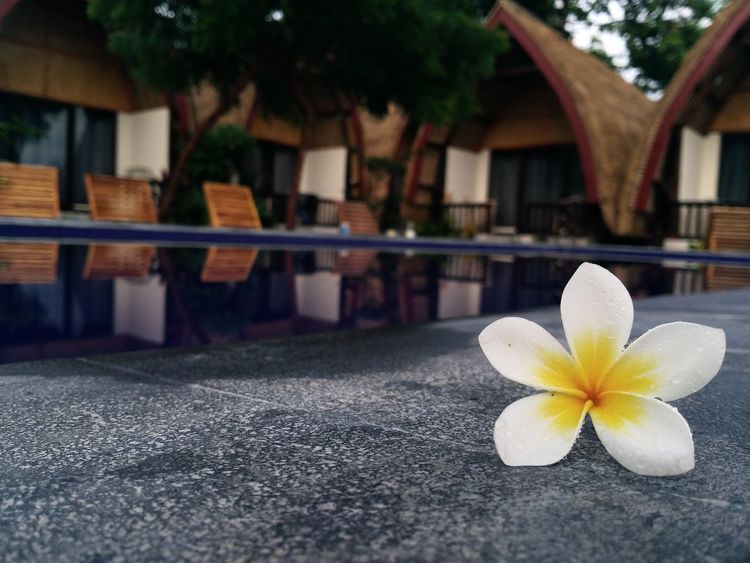 Flower Outdoors Frangipani No People Architecture Day Building Exterior Built Structure Freshness Nature Close-up Beauty In Nature Water Flower Head Fragility No Filter No Effects Reflection INDONESIA Blurred Background Details Of Nature Details Of The Day Swimming Pool Perspective Perspectives On Nature Modern Workplace Culture
