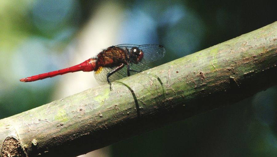Close-up of red dragonfly on plant