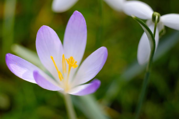 Flower Nature Beauty In Nature Petal Fragility Growth Freshness Close-up Flower Head Plant Blooming No People Purple Outdoors Day Crocus Zeiss Planar 60mm Fuji-xe2s Tenebrio.photos Crocus Flowers